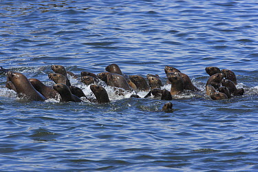 South American Sea Lion (Otaria flavescens) group swimming, Point Coles Nature Reserve, Peru  -  Cyril Ruoso