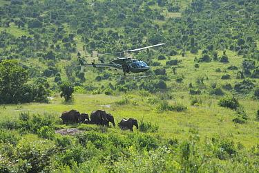 African Elephant (Loxodonta africana) group anesthesized from helicopter for relocation to Tsavo from Mwaluganje Elephant Sanctuary, Kenya  -  Cyril Ruoso