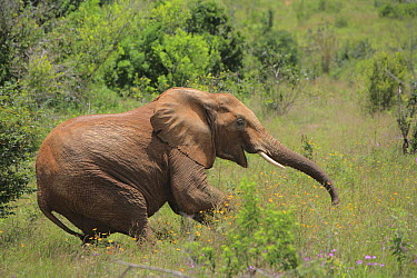 African Elephant (Loxodonta africana) falling down from effects of anesthesia, as part of relocation to Tsavo from Mwaluganje Elephant Sanctuary, Kenya  -  Cyril Ruoso