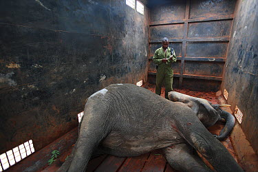 African Elephant (Loxodonta africana) in special truck for relocation to Tsavo from Mwaluganje Elephant Sanctuary, Kenya  -  Cyril Ruoso