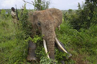 African Elephant (Loxodonta africana) anesthesized for relocation to Tsavo from Mwaluganje Elephant Sanctuary, Kenya  -  Cyril Ruoso