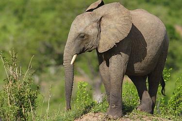 African Elephant (Loxodonta africana) calf, Mwaluganje Elephant Sanctuary, Kenya  -  Cyril Ruoso