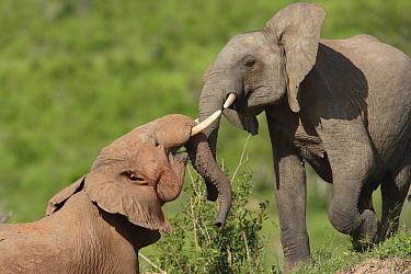 African Elephant (Loxodonta africana) calves playing, Mwaluganje Elephant Sanctuary, Kenya  -  Cyril Ruoso