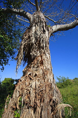 Baobab (Adansonia sp) tree eaten by African Elephants (Loxodonta africana), Mwaluganje Elephant Sanctuary, Kenya  -  Cyril Ruoso