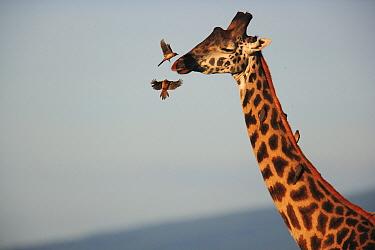 Red-billed Oxpecker (Buphagus arythrorhynchus) pair landing on Masai Giraffe (Giraffa tippelskirchi) to feed on parasites, Ngorongoro Conservation Area, Tanzania  -  Cyril Ruoso