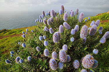 Pride of Madeira (Echium fastuosum) blooming, south coast of Madeira  -  Cyril Ruoso