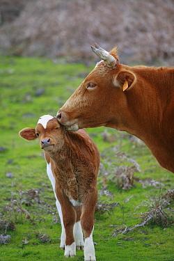 Domestic Cattle (Bos taurus), free ranging mother nuzzling calf, Paul da Serra Plateau, Madeira  -  Cyril Ruoso