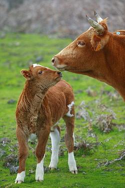 Domestic Cattle (Bos taurus), free ranging mother and calf, Paul da Serra Plateau, Madeira  -  Cyril Ruoso