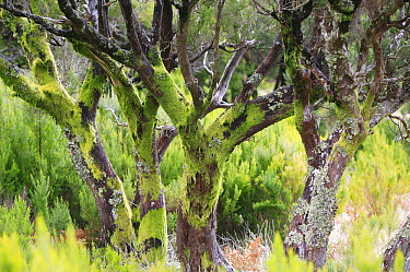 Tree Heath (Erica arborea) group in a temperate primary forest called laurisilva, Madeira  -  Cyril Ruoso