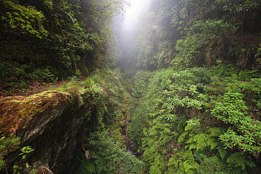 Ravine in primary forest, Ribeira dos Cedros, Madeira  -  Cyril Ruoso