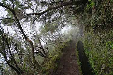 Tree Heath (Erica arborea) group and artificial canal in temperate primary forest, Madeira  -  Cyril Ruoso
