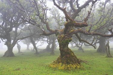 Til (Ocotea foetens) tree, a one century old specimen, Madeira  -  Cyril Ruoso