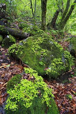 Lichen in temperate primary forest called laurisilva, Ribeiro Frio, Madeira  -  Cyril Ruoso