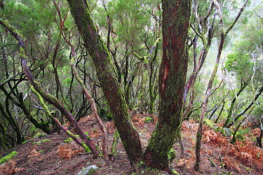 Tree Heath (Erica arborea) group in a temperate primary forest, Rabacal, Madeira  -  Cyril Ruoso