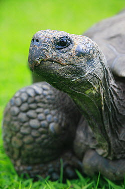 Galapagos Giant Tortoise (Chelonoidis nigra) which has been captive for 40 years, Madeira  -  Cyril Ruoso