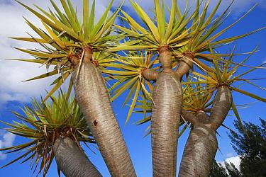 Canary Island Dragon Tree (Dracaena draco) trunk and leaves, Madeira  -  Cyril Ruoso