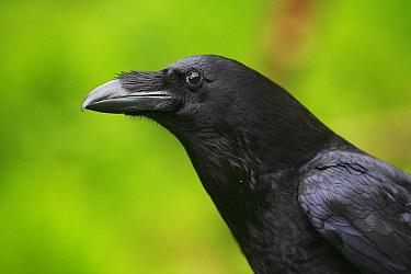 Common Raven (Corvus corax) portrait, Austria  -  Cyril Ruoso