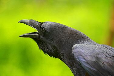 Common Raven (Corvus corax) calling, Austria  -  Cyril Ruoso