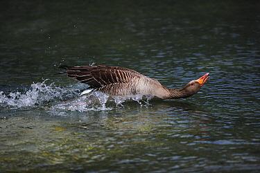 Greylag Goose (Anser anser) male showing aggressive behavior, Austria  -  Cyril Ruoso