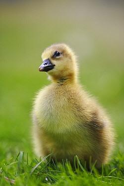 Greylag Goose (Anser anser) gosling, Austria  -  Cyril Ruoso