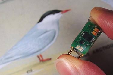 Arctic Tern (Sterna paradisaea) mini GPS recorder, Flatey Island, Iceland  -  Cyril Ruoso