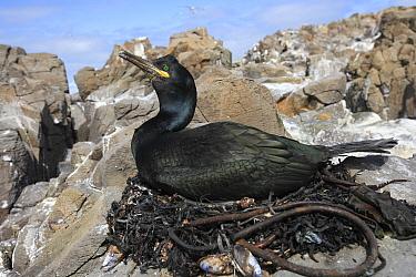 European Shag (Phalacrocorax aristotelis) female sitting on nest, Flatey Island, Iceland  -  Cyril Ruoso