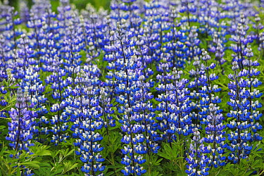 Nootka Lupine (Lupinus nootkatensis), an introduced species for fighting soil erosion, Iceland  -  Cyril Ruoso
