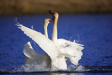 Whooper Swan (Cygnus cygnus) fighting, east Iceland  -  Cyril Ruoso
