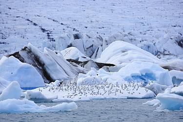 Arctic Tern (Sterna paradisaea) group on iceberg in Jokulsarlon Lagoon, Iceland  -  Cyril Ruoso