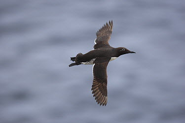 Common Murre (Uria aalge) bridled form flying, Langanes Peninsula, Iceland  -  Cyril Ruoso