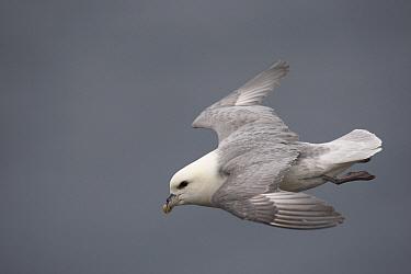 Northern Fulmar (Fulmarus glacialis) flying, Latrabjarg Cliff, West Fjords, Iceland  -  Cyril Ruoso