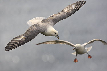 Northern Fulmar (Fulmarus glacialis) pair flying, Latrabjarg Cliff, West Fjords, Iceland  -  Cyril Ruoso