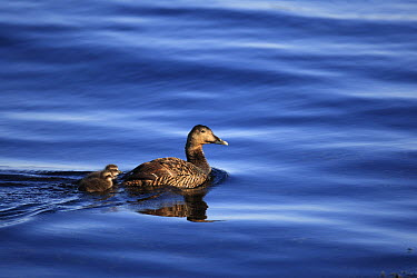 Common Eider (Somateria mollissima) female with ducklings, Flatey Island, Iceland  -  Cyril Ruoso