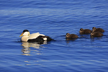 Common Eider (Somateria mollissima) male with ducklings, Flatey Island, Iceland  -  Cyril Ruoso