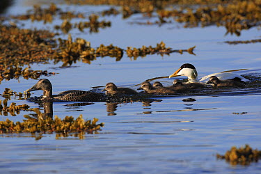 Common Eider (Somateria mollissima) male and female with ducklings, Flatey Island, Iceland  -  Cyril Ruoso