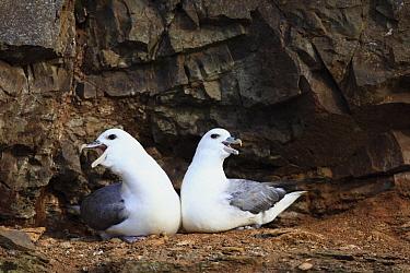 Northern Fulmar (Fulmarus glacialis) pair displaying, Flatey Island, Iceland  -  Cyril Ruoso