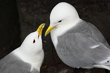 Black-legged Kittiwake (Rissa tridactyla) pair courting, Latrabjarg Cliff, West Fjords, Iceland  -  Cyril Ruoso