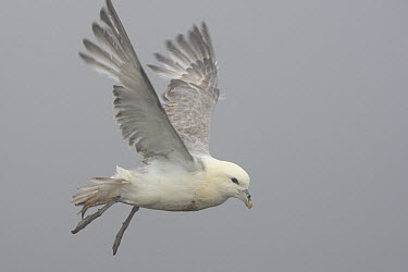 Northern Fulmar (Fulmarus glacialis) flying in mist, Latrabjarg Cliff, West Fjords, Iceland  -  Cyril Ruoso