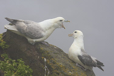 Northern Fulmar (Fulmarus glacialis) displaying in mist, Latrabjarg Cliff, West Fjords, Iceland  -  Cyril Ruoso