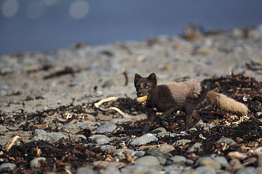 Arctic Fox (Alopex lagopus) with an egg in his mouth, Iceland  -  Cyril Ruoso