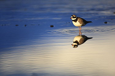 Common Ringed Plover (Charadrius hiaticula), West Fjords, Iceland  -  Cyril Ruoso