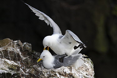 Black-legged Kittiwake (Rissa tridactyla) pair mating on cliff nest, Latrabjarg Cliff, West Fjords, Iceland  -  Cyril Ruoso