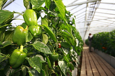 Greenhouse growing green peppers heated by geothermal spring, Hveragerdi, Iceland  -  Cyril Ruoso
