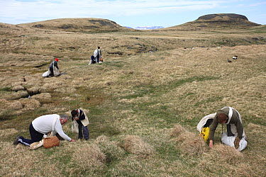 Common Eider (Somateria mollissima) down is replaced by hay during down collection, Aedey Island, Iceland  -  Cyril Ruoso