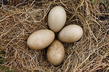 Common Eider (Somateria mollissima) eggs on hay after down collection on Aedey Island, Iceland  -  Cyril Ruoso