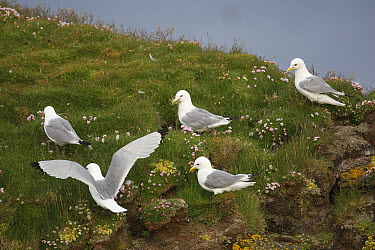 Black-legged Kittiwake (Rissa tridactyla) looking for sheep dung as nest material, Latrabjarg Cliff, West Fjords, Iceland  -  Cyril Ruoso