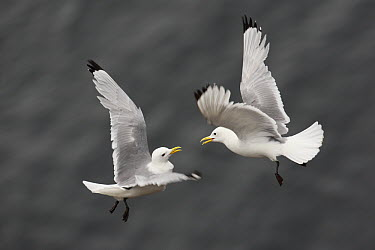 Black-legged Kittiwake (Rissa tridactyla) pair flying, Latrabjarg Cliff, West Fjords, Iceland  -  Cyril Ruoso