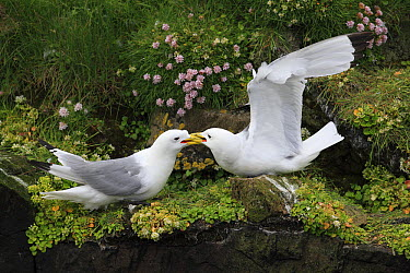 Black-legged Kittiwake (Rissa tridactyla) pair fighting, Latrabjarg Cliff, West Fjords, Iceland  -  Cyril Ruoso