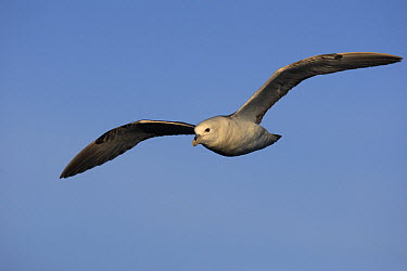 Northern Fulmar (Fulmarus glacialis) flying, Latrabjarg Cliff, West Fjords, Iceland  -  Cyril Ruoso