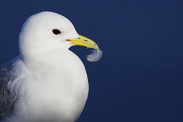 Black-legged Kittiwake (Rissa tridactyla) female grooming, Latrabjarg Cliff, West Fjords, Iceland  -  Cyril Ruoso